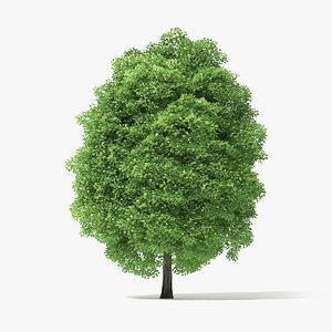 3D norway maple tree model