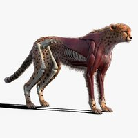 Cheetah Anatomy with Skeletons and Muscles with Fur Xgen