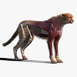 3D cheetah fur xgen skeletons model