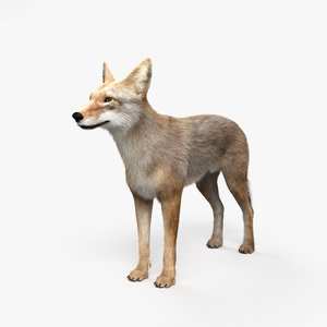 3D model coyote mammal animal