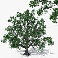 Pedunculate Oak Quercus Robur 16m