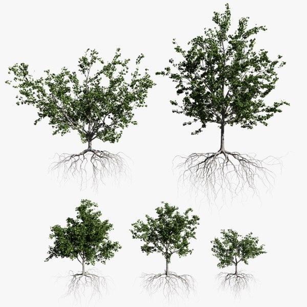 maple summer trees 3D