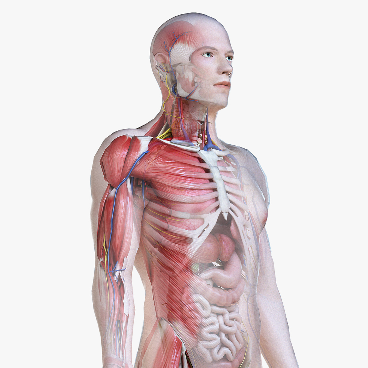3D male anatomy polys