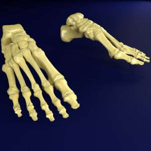foot bones labelled model