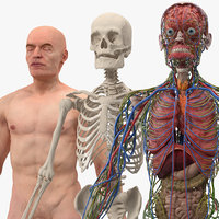 male skeleton internal organs 3D model