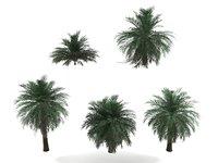 butia palm trees model