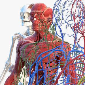 Turbosquid éducation Male_Full_Body_Anatomy_007.jpg0485677E-70B0-4D1F-91C8-91527AECA754Res300