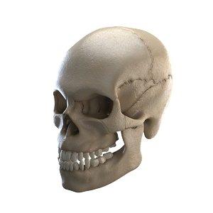 3D cranium anatomy