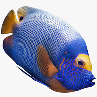 3D blueface emperor angel fish model