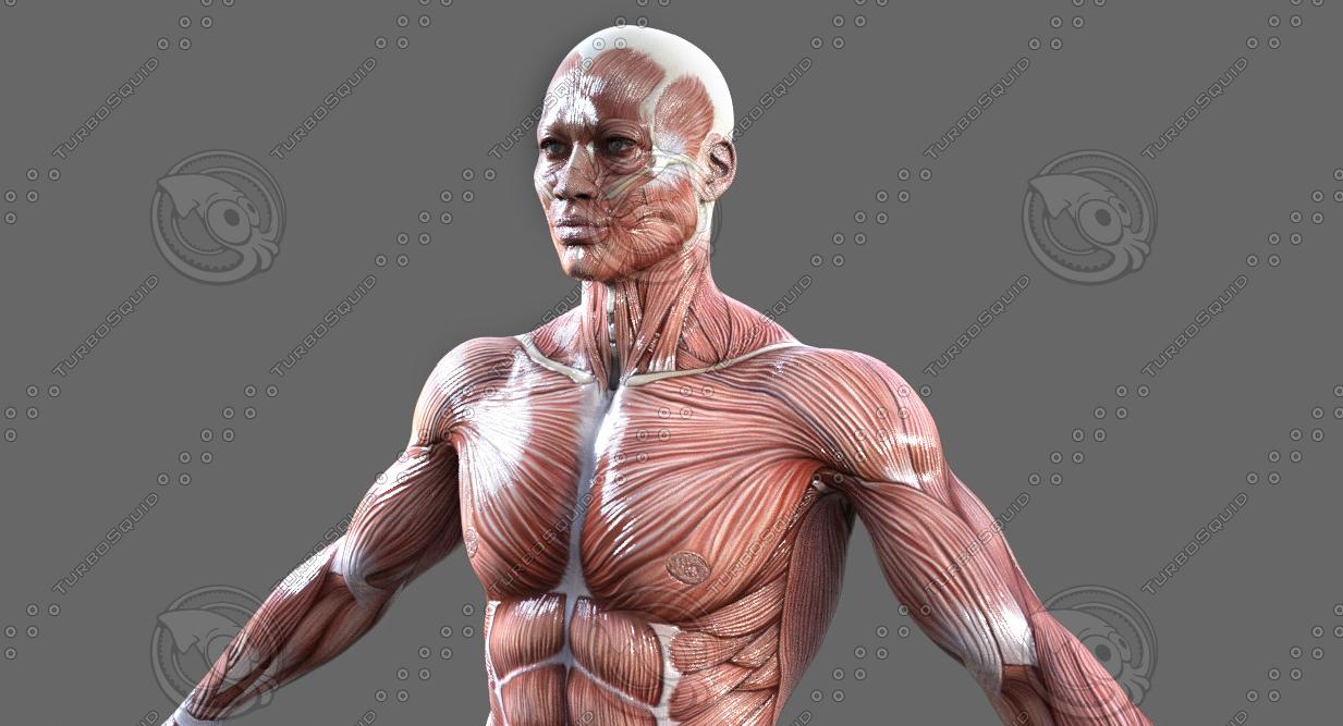 3D model anatomy muscular