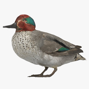 eurasian teal male 01 3D model