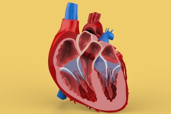 3D model humans heart