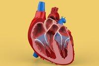 HUMAN HEART CROSS SECTION ANATOMY
