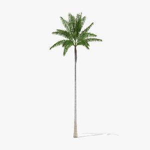 3D florida royal palm roystonea model