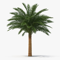 Silver Date Palm