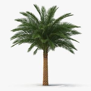silver date palm 3D model