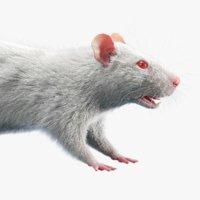 rat fur 3D model