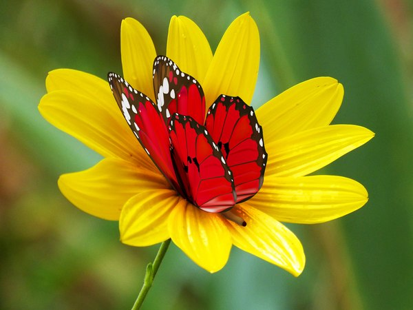 butterfly animation 3D model