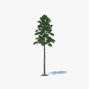 3D loblolly pine