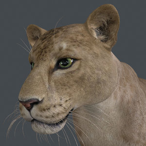 animal lion mammal 3D model
