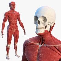 3D male skeleton muscular