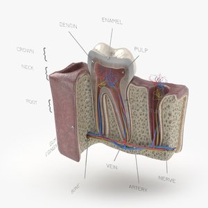 molar tooth section 3D model