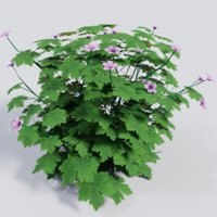 3D plant geranium endressii gardens model
