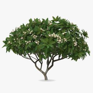 plumeria frangipani tree white model