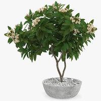 flower pot plumeria white 3D model
