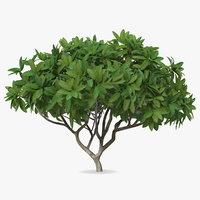 3D plumeria frangipani shrub model