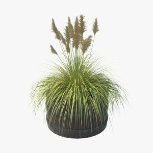 3D model cortaderia selloana grass