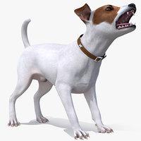 jack russell terrier white model