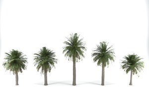 3D chilean wine palm trees model