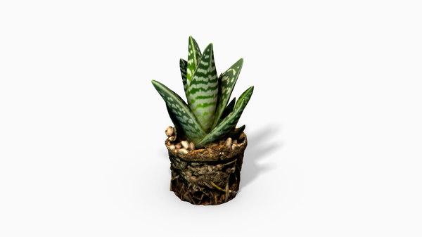 gasteria cactus plant 3D