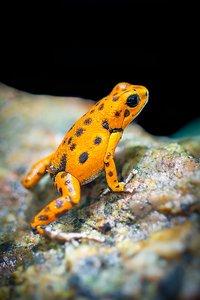 orange-and-black-frog