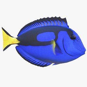 3D paracanthurus hepatus coral reef model