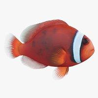 Amphiprion Frenatus Coral Reef Fish