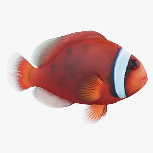 amphiprion frenatus coral reef model
