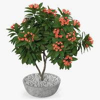flower pot plumeria red 3D model