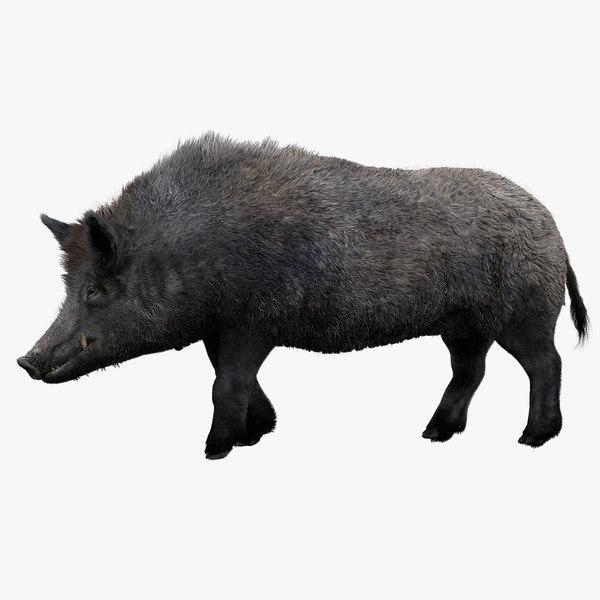 3D pig animal boar