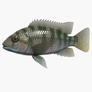 tilapia zillii swimming 3d model