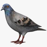 3d pigeon model