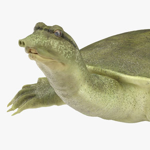 3D chinese softshell turtle rigged