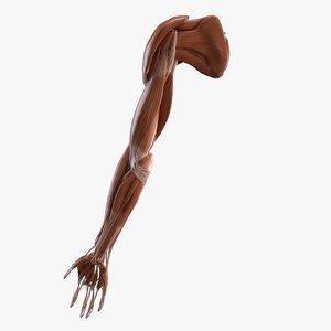 arm muscles 3D model