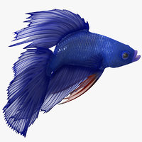 Blue Betta Fish Rigged for Cinema 4D