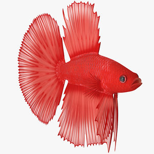 3D red crowntail betta fish model