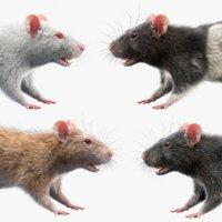 rats fur white 3D model