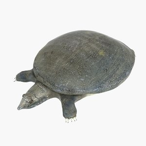 3D turtle trionyx sinensis model
