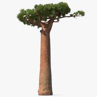 baobab tree plant 3D