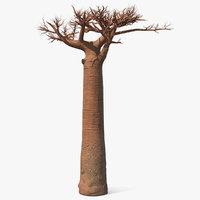 naked baobab 3D